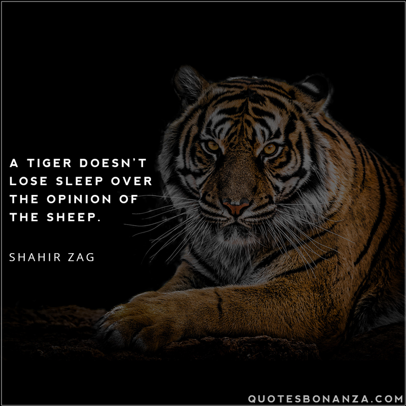 a-tiger-doesnt-lose-sleep-over-opinion-of-sheep